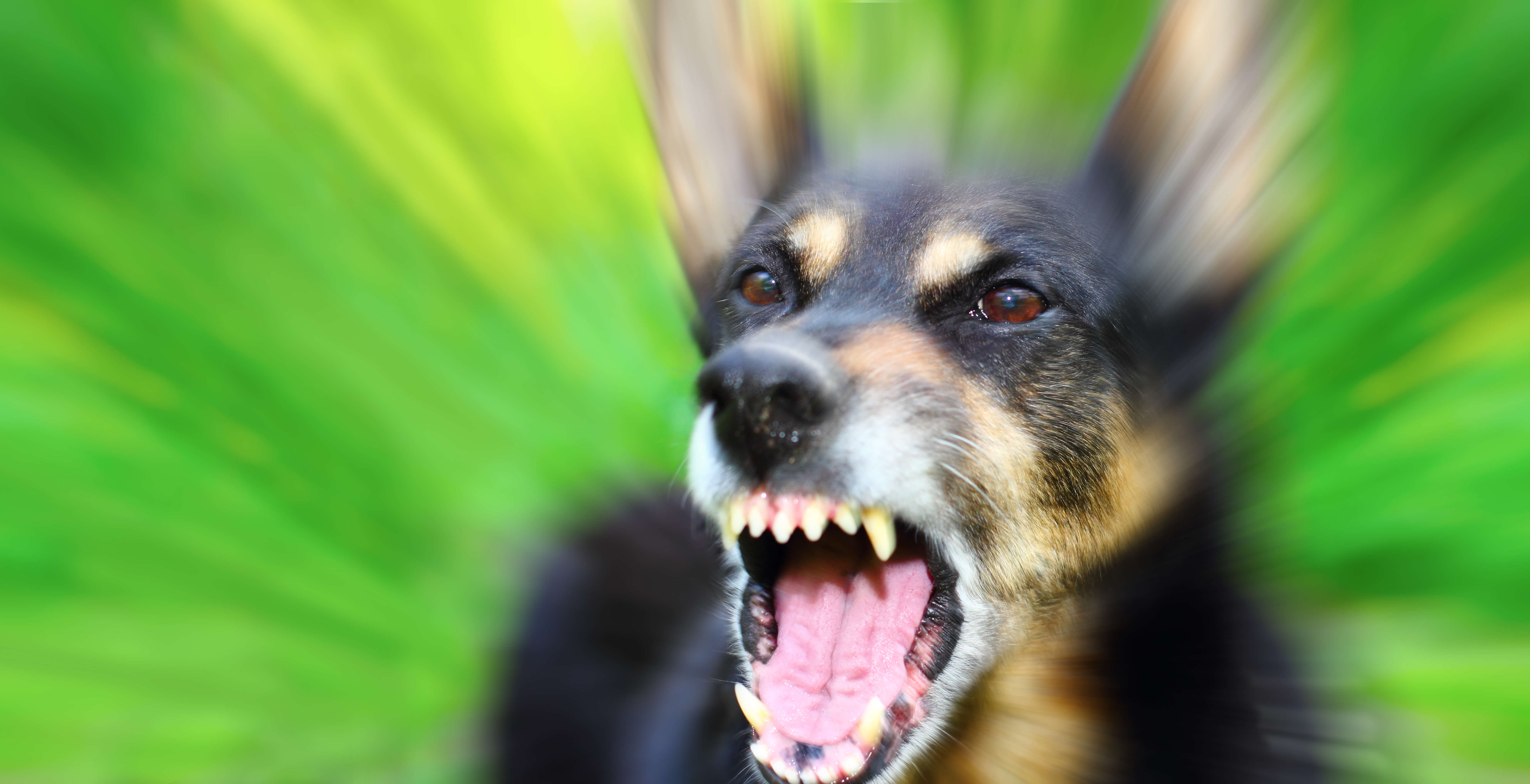 Barking enraged shepherd dog outdoors over blurred green background